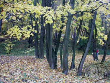Maples in Zalizna Voda Park